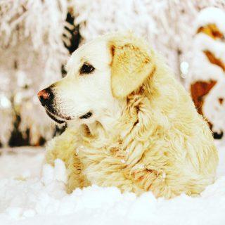 #Fibi w grudniu 2017 roku przed Młynem ganiała w śniegu jak szalona - w tym roku chyba na to liczyć nie możemy - czy wy też czekacie, żeby 2020 już sobie poszedł? #wemlynie #dogfriends #dogfriendly #restauracja #restaurant #snow #snieg #christmas #2020